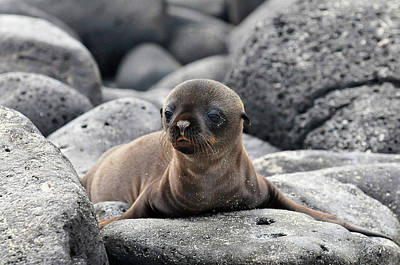 Sea Lions Photograph - Galapagos Sea Lion Pup by Ilan Ben Tov
