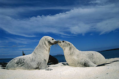 Photograph - Galapagos Sea Lion Pups Covered In Sand by Tui De Roy