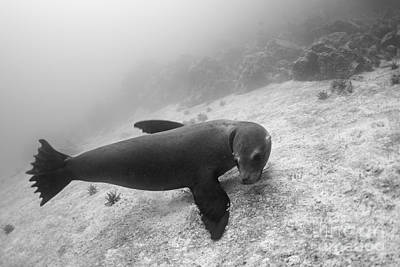 Galapagos Sea Lion Underwater Art Print by Sami Sarkis