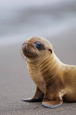 Galapagos Photograph - Galapagos Sea Lion Zalophus Wollebaeki by John Freeman
