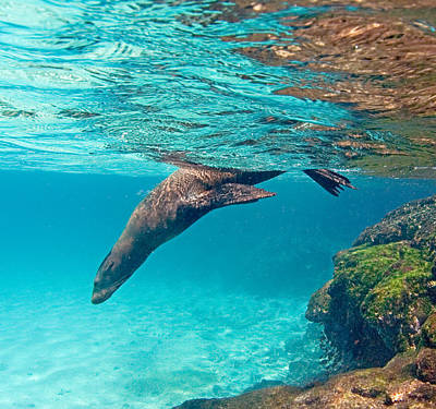 Sea Animals Photograph - Galapagos Sea Lion Zalophus Wollebaeki by Panoramic Images
