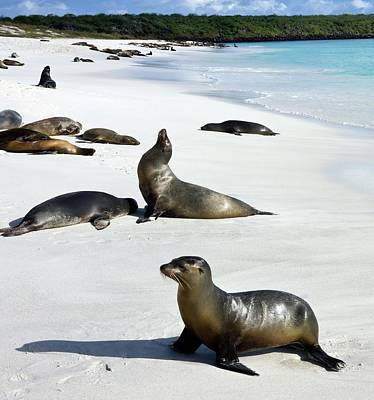 Galapagos Photograph - Galapagos Sea Lions by Steve Allen/science Photo Library