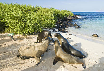Galapagos Wildlife Photograph - Galapagos Sea Lions by William H. Mullins
