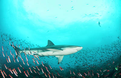 Galapagos Photograph - Galapagos Shark Amongst The Fish by By Wildestanimal