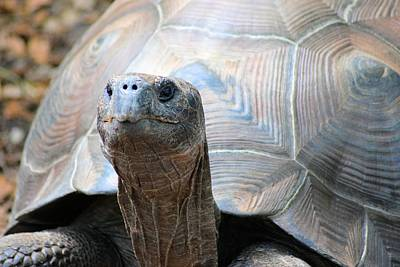 Photograph - Galapagos Tortoise 1 by Sheri McLeroy
