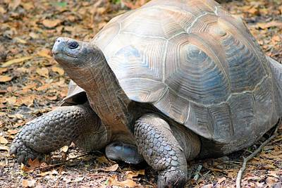 Photograph - Galapagos Tortoise 2 by Sheri McLeroy