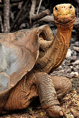 Darwin Research Center Photograph - Galapagos Tortoise by Stephanie Brand