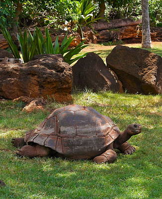 Photograph - Galapagos Turtle At Honolulu Zoo by Michele Myers