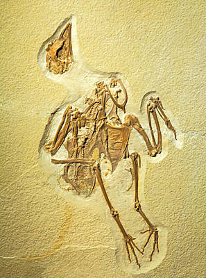 Photograph - Gallinule Bird Fossil by Millard H. Sharp