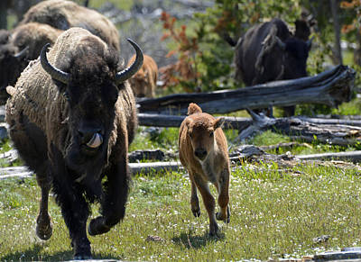 Gallopin Bison Mom And Calf Art Print by Bruce Gourley