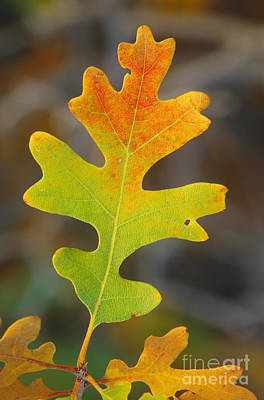 Photograph - Gambel Oak Leaf In Autumn by Rod Planck
