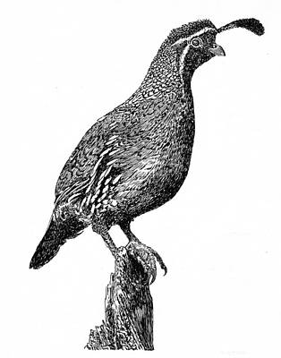 New Mexico Drawing - Gambel Quail by Jack Pumphrey