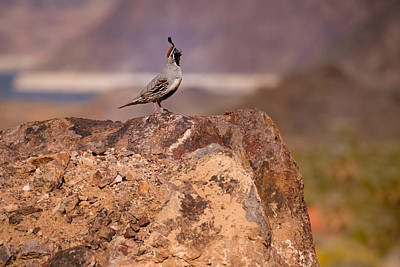 Photograph - Gambel's Quail - It's Good To Be King by  Onyonet  Photo Studios