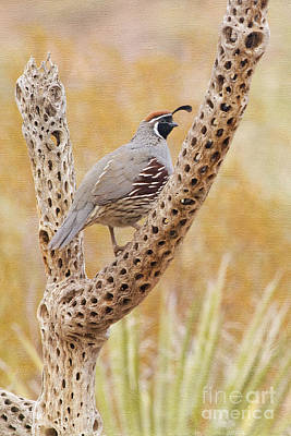 Photograph - Gambel's Quail by Marianne Jensen
