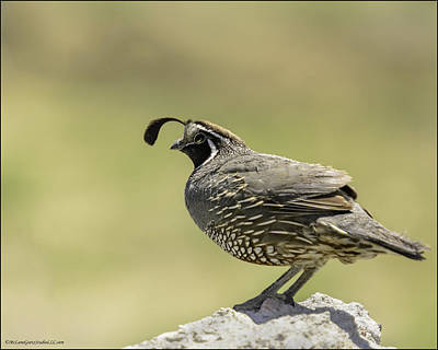 Photograph - Gambel's Quail Of The Southwest by LeeAnn McLaneGoetz McLaneGoetzStudioLLCcom