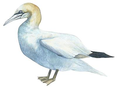 Horizontal Drawing - Gannet  by Anonymous