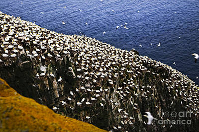 Photograph - Gannets At Cape St. Mary's Ecological Bird Sanctuary by Elena Elisseeva