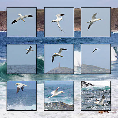 Gannets Galore Print by Terri Waters