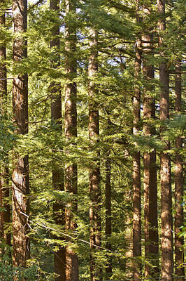 Photograph - Garcia's Redwoods by Larry Darnell