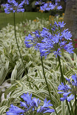 Art Print featuring the photograph Garden Blue by Ivete Basso Photography