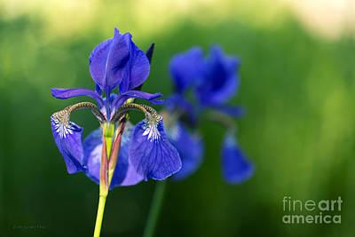 Siberian Iris Photograph - Garden Blues by Beve Brown-Clark Photography