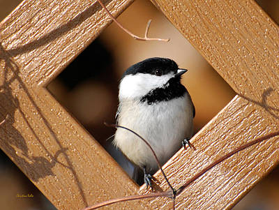 Photograph - Garden Chickadee by Christina Rollo