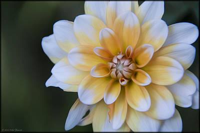 Photograph - Garden Dahlia 2 by Erika Fawcett