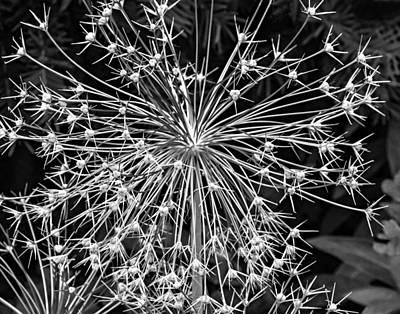 Garden Fireworks 2 Monochrome Art Print by Steve Harrington