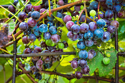 Concord Grapes Photograph - Garden Grapes by Bill Pevlor