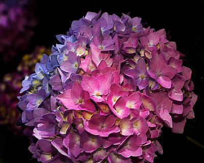 Photograph - Garden Hydrangea  by Richard Engelbrecht