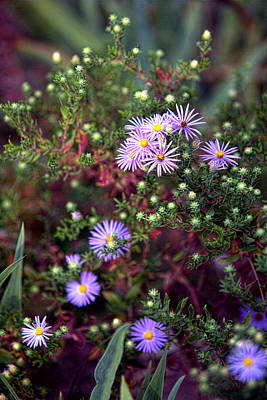 Garden Lavender Asters Original by Linda Phelps