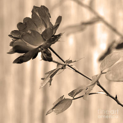 Photograph - Garden Lines Sepia Rose by Connie Fox