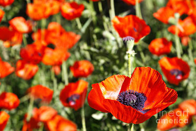 Art Print featuring the photograph Garden Of Poppies by Lincoln Rogers