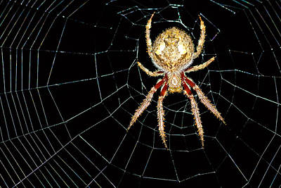 Movies Star Paintings - Garden Orb Spider by Christopher Edmunds