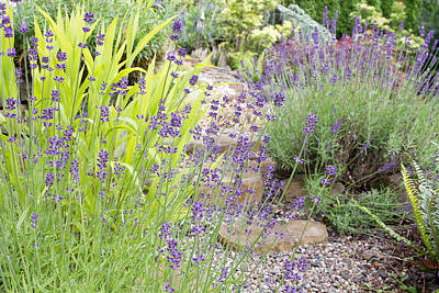Summer Photograph - Garden Path With English Lavender Flowers by David Gn