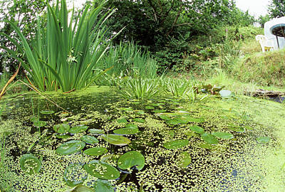 Bog Wall Art - Photograph - Garden Pond by Sinclair Stammers/science Photo Library