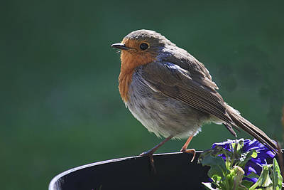 Photograph - Garden Robin by Shirley Mitchell