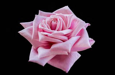 Decor Photograph - Garden Rose by Garvin Hunter