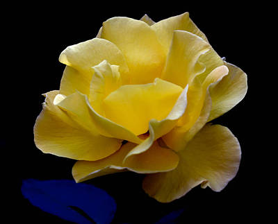 Photograph - Garden Rose by Michael Hope