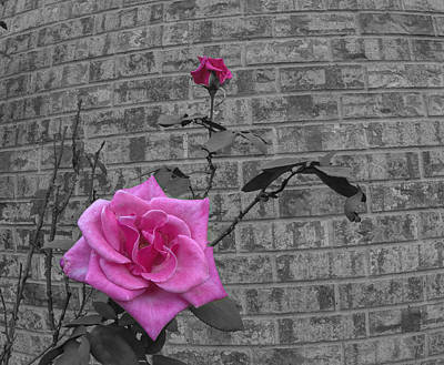 Photograph - Garden Rose by Philip Rispin