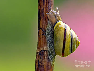 Photograph - Garden Snail Bright by Sharon Talson