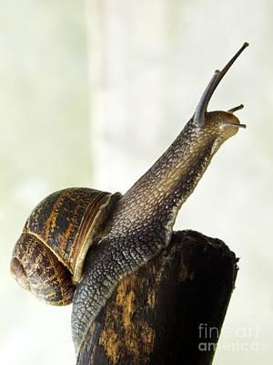 Garden Snail Art Print by Ian Gowland