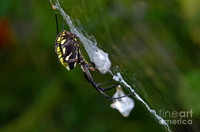 Photograph - Garden Spider Profile by Laura Mountainspring