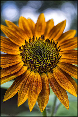 Photograph - Garden Sunflower by Erika Fawcett