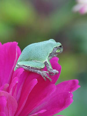 Butterfly Photograph - Garden Tree Frog by Rebecca Overton