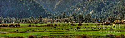 Photograph - Garden Valley Elk Herd by Sam Rosen