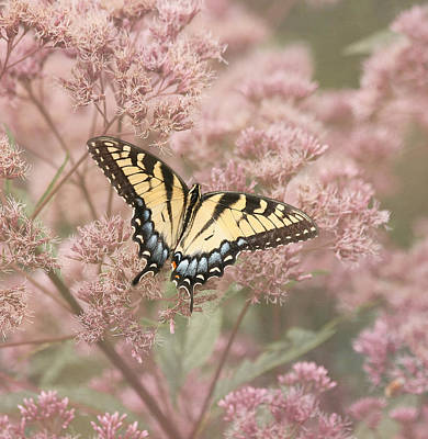 Photograph - Garden Visitor - Tiger Swallowtail by Kim Hojnacki