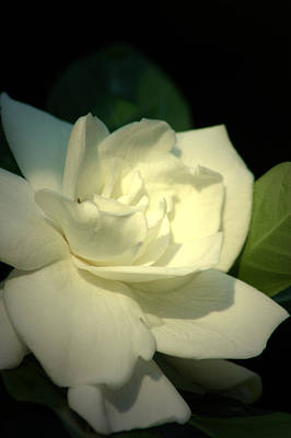 Photograph - Gardenia 2 by David Weeks