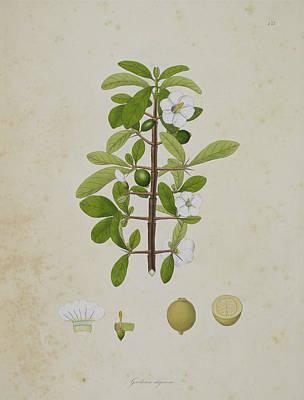 Gardenia Aligonosa Art Print