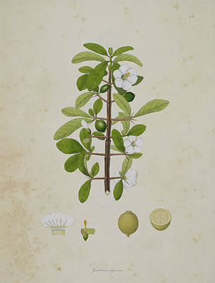 Gardenia Photograph - Gardenia Aligonosa by British Library